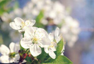 Spring blossom_600